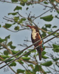 Title: The White-throated Kingfisher