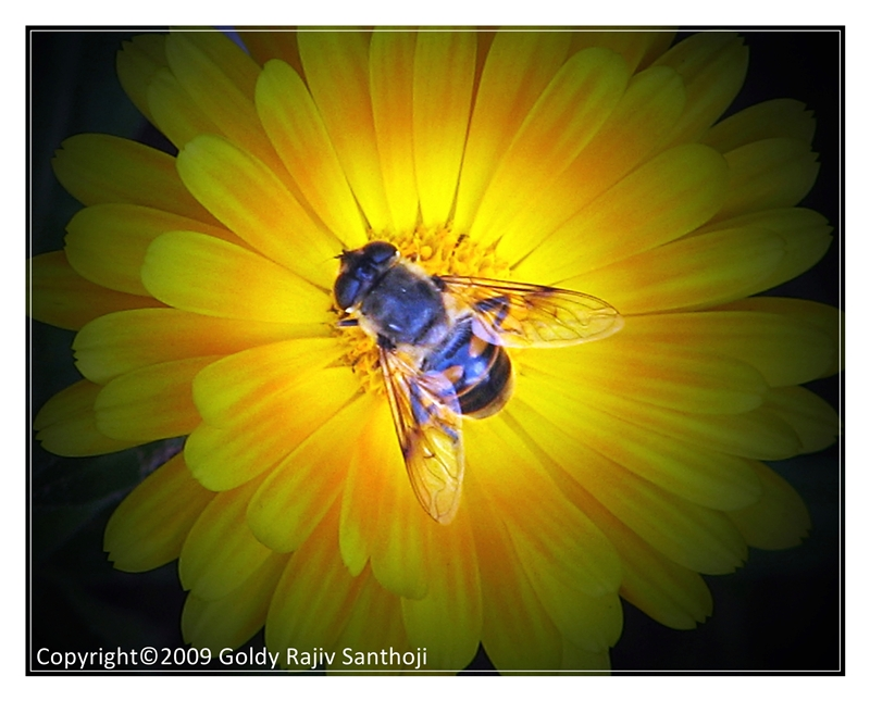 A Honey Bee imposter drone-fly