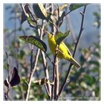 Title: The Grey-headed Canary-flycatcherCanon S2 IS