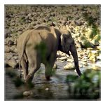 Title: The Asian Elephant Series 35