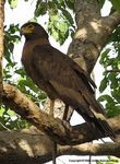 Title: The Crested Serpent-eagle