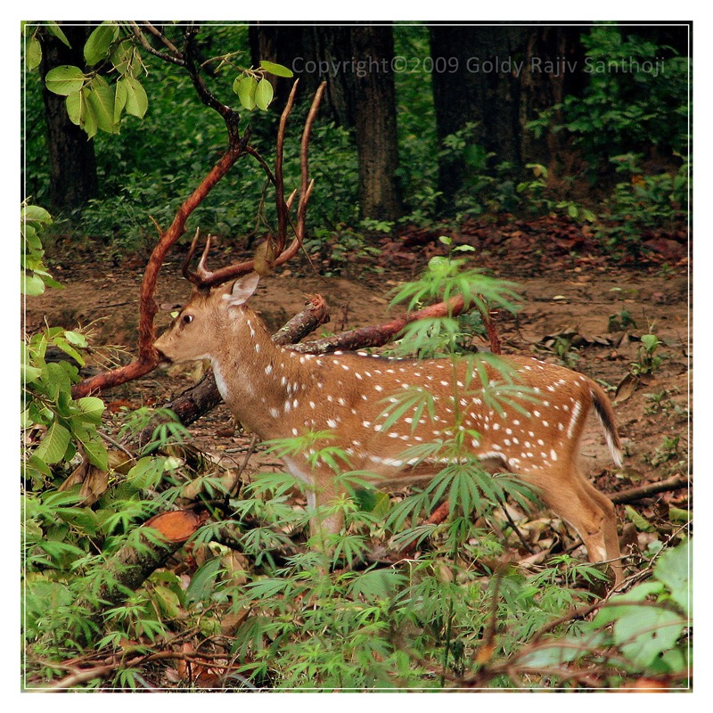 Chital Stag - for Rick Price