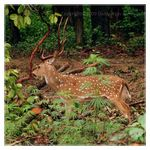 Title: Chital Stag - for Rick Price