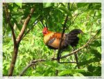 Title: The Jungle Fowl for Howard(Marhowie)Canon S2 IS