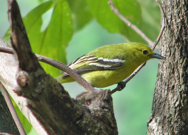 The Common Iora