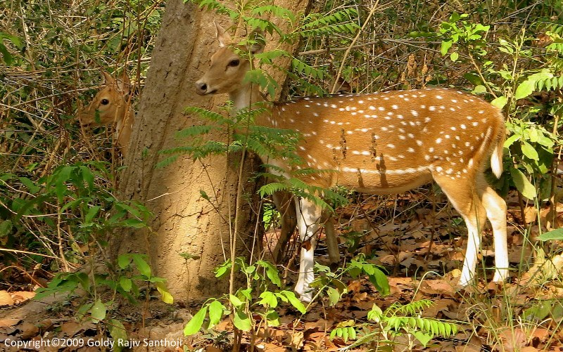 Chitals - Spotted Deer