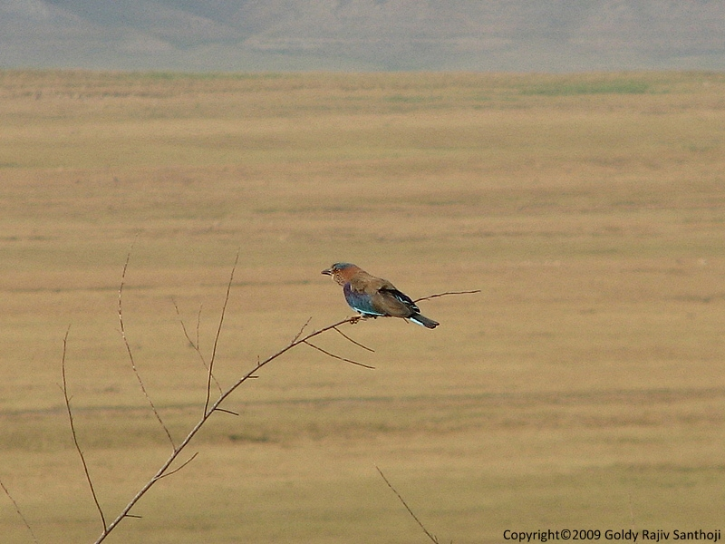 The Indian Roller for Asbed