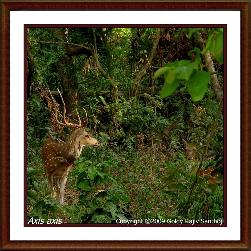 The Spotted Deer (Axis axis)