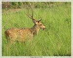 Title: Chital StagCanon S2 IS