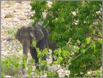 Title: The Asian Elephant Series 7