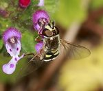 Title: Syrphid Fly - Family Syrphidae
