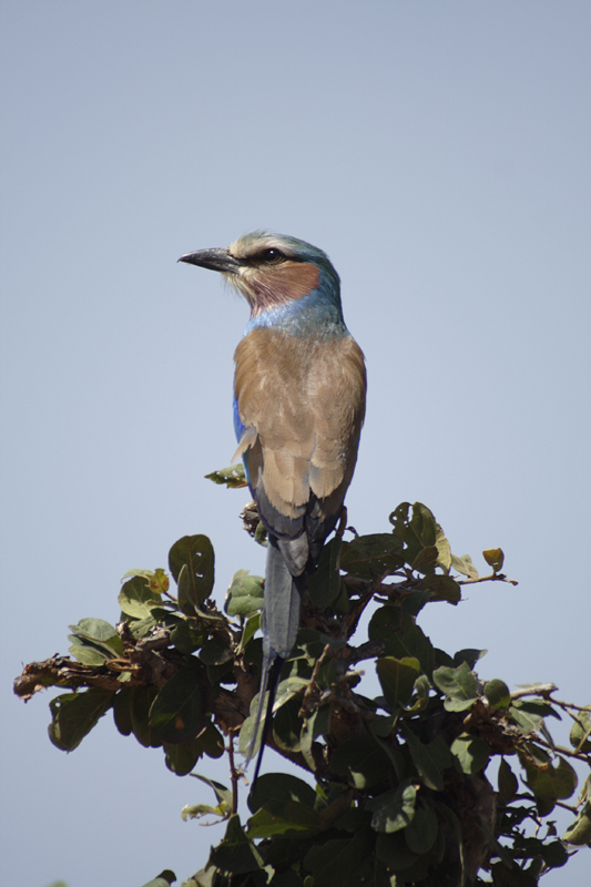 Lilac thoated roller