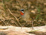 Title: Siberian Rubythroat Camera: Nikon D 80