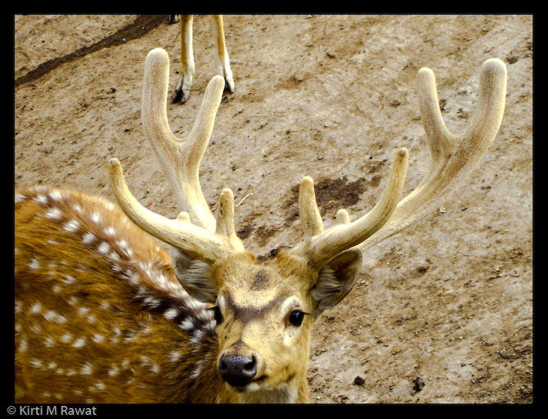 The Chital