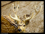 Title: The Chital