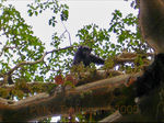 Title: Chimpanzee in paradise