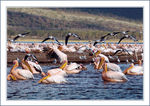 Title: Pelicans and Terns