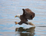 Title: Bald  Eagle fishing 2 Camera: CANON 1Ds Mark III