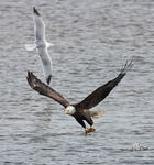 Title: Bald Eagle with fish 4 Camera: CANON 1Ds Mark III