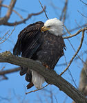 Title: Bald Eagle 2