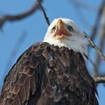 Title: Bald Eagle Portrait