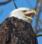 Title: Bald Eagle Calling (Profile)