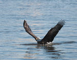 Title: Bald Eagle in the Water