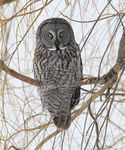 Title: Great Gray Owl 2CANON 1Ds Mark III