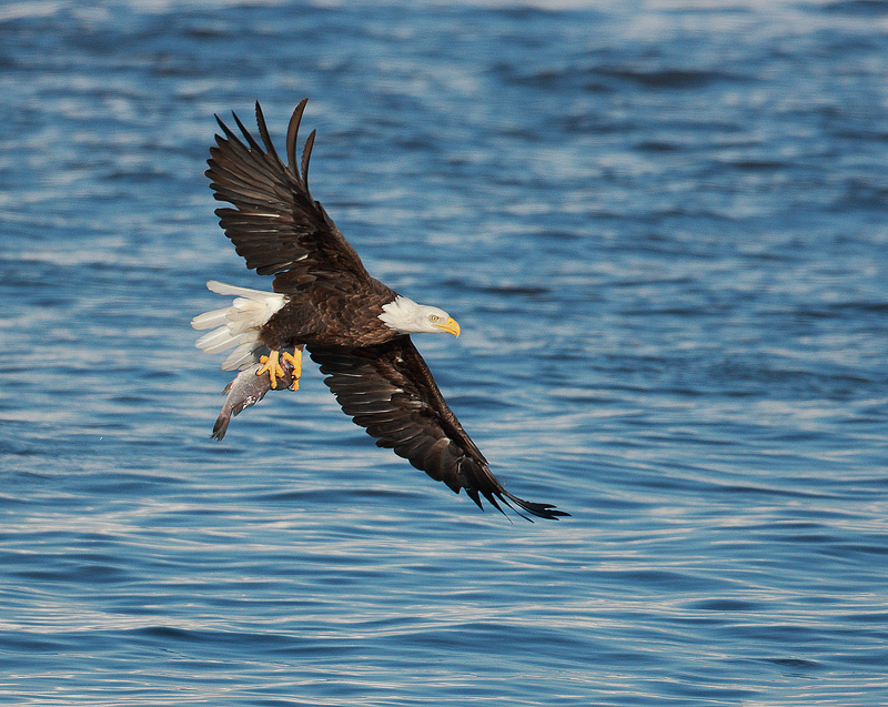 Bald Eagle with fish 2