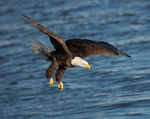 Title: Mature bald eagle, in flight 2