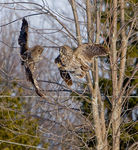 Title: Great Gray Owls fighting-- 100th posting