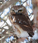 Title: Northern Saw-whet Owl