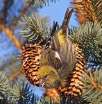Title: White-winged Crossbill-female