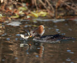 Title: Hoodeed Merganser- female 2CANON 1Ds Mark III