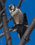 Title: Northern Hawk Owl stretching timeCANON 1Ds Mark III