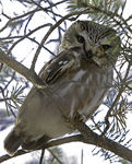 Title: Northern Saw-whet Owl 2