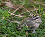 Title: Golden-crowned Kinglet 2