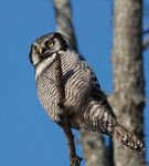 Title: Northern Hawk Owl