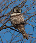 Title: Northern Hawk Owl 3CANON 1Ds Mark III