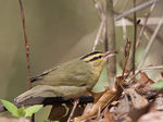Title: Worm-eating Warbler with lunch