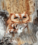 Title: Screech-Owl red morph