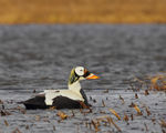 Title: Spectacled Eider