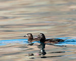 Title: White-winged Scoter