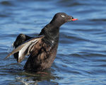Title: White-winged Scoter 2Canon EOS 1D Mark IV