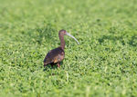 Title: White-faced Ibis