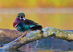 Title: Wood Duck 3