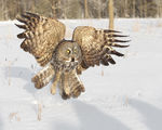 Title: Great Gray Owl -2