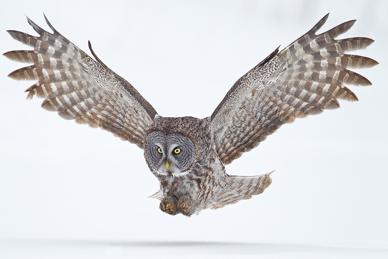 Great Gray Owl- 4