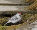 Title: Hoary Redpoll