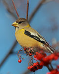 Title: Evening Grosbeak female